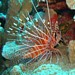 Photo-A Spotfin lionfish looking for a place to hide