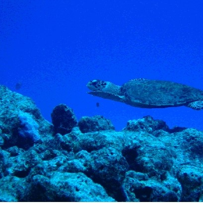 Photo- Of a Hawksbill Turtle